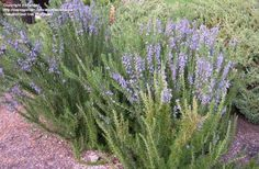 PlantFiles Pictures: Upright Rosemary 'Pyramidalis' (Rosmarinus officinalis) by Plants That Attract Butterflies, Butterfly Plants, Backyard Plants, Backyard Landscaping, Evergreen Herbs, Planting Plan, Salvia, Plant Care, Herb Garden