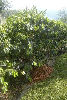 The Recycling of the coffee cherry skin and pulp to fertilize the coffee plant. Nothing is wasted in the process.