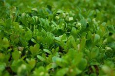 Best Plants for Brooklyn Backyard Gardens - Boxwood. Evergreen.