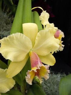 Inter-generic Orchid-hybrid Blc: BrassoLaelioCattleya George King 'Southern Cross