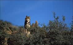 The Mexican gray wolf (Canis lupus baileyi), a highly intelligent and socially complex carnivore, is the most endangered wolf subspecies in the world. Native to the mountainous woodlands of the southwestern United States and northern Mexico, this rare canine suffered habitat loss and other human impacts so great that it has been effectively absent from the American landscape for more than half a century.