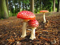 amanita_muscaria_red-mushroom-wild-photography-wallpaper-7.jpg (1600×1200)