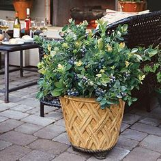 Blueberry Bushes for Sale   Fast Growing Trees