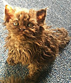 SELKIRK REX. I will have one !!