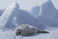 """Original pinner: """"Nap time: A harp seal pup slumps on the ice in St Lawrence Gulf, Canada.I have always loved these seally,s and HATED CANADA for allowing the brutal slaughter of these every year.just for money. Cute Creatures, Beautiful Creatures, Animals Beautiful, Cute Baby Animals, Animals And Pets, Funny Animals, Harp Seal Pup, Cute Camera, Kittens And Puppies"""