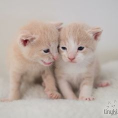 Say what!? Watch rescue kittens live 24/7: http:// tinykittens.com #palindromes #cats #adoptdontshop #siris #pip
