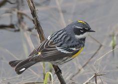Yellow-rumped Warbler | Oct 5 Bird Tweet - Yellow-Rumped Warbler