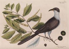 The 'cuckow of Carolina and the chinkapin' - Mark Catesby Prints | The Royal Society