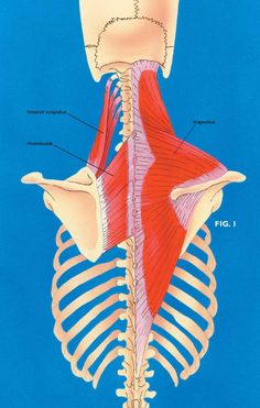 The Dreaded Levator Scapulae || Massage Therapy Articles