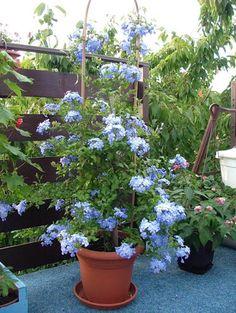 Plumbago, vranjemil - Plumbago auriculata - Cvijet.info FORUM - Stranica 2