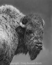 Detailed and incredibly realistic sketches and drawings of studies made of game fish species and also animals of the big five. North American Animals, American Bison, Majestic Animals, Animals Beautiful, Large Animals, Animals And Pets, Buffalo S, Musk Ox, Wild Creatures