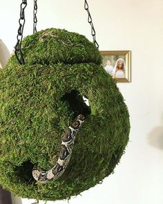 Originally I got this ball to use as an elevated hide for Kiki the ball python, but then I realized that it was way too big to fit inside a enclosure comfortably. So now we have a hanging snake toy in our living room! Snake Terrarium, Aquarium Terrarium, Terrarium Centerpiece, Terrarium Closed, Airplant Terrarium, Terrarium Scene, Cactus Terrarium, Hanging Terrarium, Terrarium Ideas