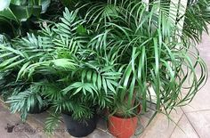 Indoor Palm Plant Care: How To Care For Indoor Palm Trees And Plants