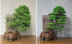 Before and After cascading juniper #bonsaitrees