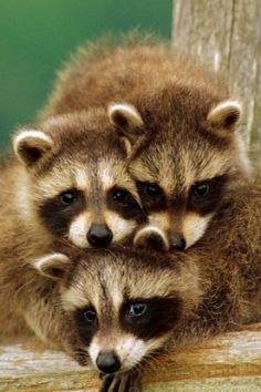 Pile of Raccoons!