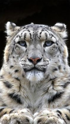 A Snow Leopard. (#amazing #beautiful pictures )