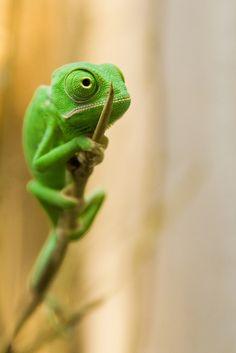 https://flic.kr/p/6zE4Qs | Veiled Chameleon | Jemenchamäleon (Chamaeleo calyptratus, Veiled chameleon) - Jungtier