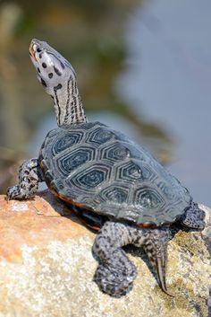 Maryland: Diamondback Terrapin