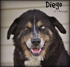 Diego - Husky mix - 8 yrs old - Adopt Me Animal Rescue - Madison, WI. - http://www.adoptmeforever.org/#!adoptions/c6mv - https://www.facebook.com/adoptmeindianarescue - https://www.petfinder.com/petdetail/30457855/