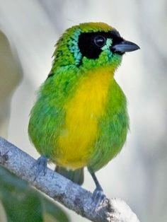 Tangara schrankii : photo Edson Endridgo : wikiaves.com.br