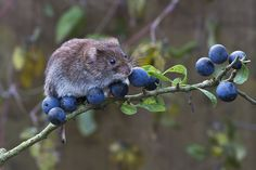 Bank Vole by Phil Winter