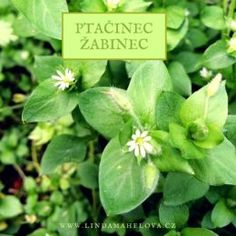 ptačinec žabinec Korn, Plant Leaves, Place Cards, Smoothie, Herbs, Place Card Holders, Health, Nature, Plants
