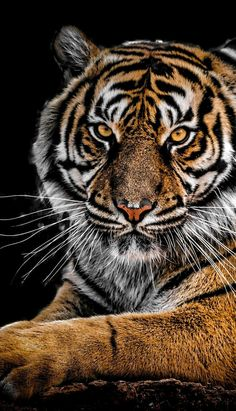 Tiger Wallpaper, Animal Wallpaper, Beautiful Cats, Animals Beautiful, Big Cats, Cats And Kittens, Animal Close Up, Animals And Pets, Cute Animals