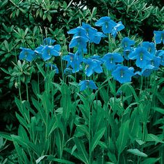 'Blue Himalayan' Poppy produces sky-blue flowers for part shade. Best in Pacific northwest and cool northeast areas. One of Park's Garden Gems!