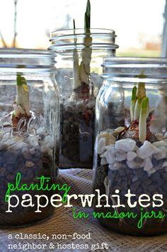 Neighbor Gift Idea: Paperwhites planted in Mason Jars