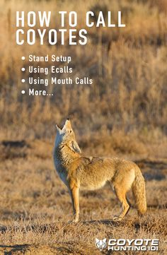Learn how to use an electronic game call, or even better, mouth calls! Call coyotes like the pro's!