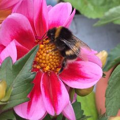 #dahlia #bee #nature #photography