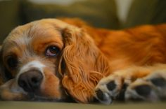Winston! 'American Cocker Spaniel' by Will Marlow Falls Church, Virginia, US  (2048 x 1356)  #Animals #dog #CockerSpaniel #Winston #Cocker #FallsChurch #AmericanCocker #canine #pet #depth-of-field #cute #Virginia #CreativeCommons #NikonD7000 #WillMarlow #Explore #Explored  Location: Falls Church, Virginia, US  Uploaded: July 26, 2011  © Will Marlow's website: https://goo.gl/JrNHLu  Some rights reserved - 2011 http://creativecommons.org/licenses/by-nc/4.0/  Image: 2040...