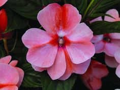 2014 AAS National Award Winner: Impatiens New Guinea Florific™ Sweet Orange - brightens partial to full shade gardens and containers Home Garden Plants, Garden Trees, Shade Garden, Lawn And Garden, Rare Flowers, Beautiful Flowers, Flowers Perennials, Planting Flowers, Bouquet