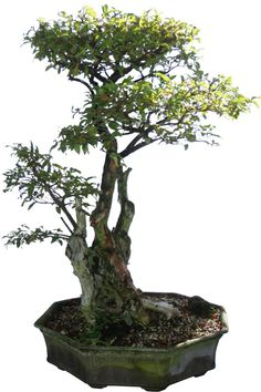 Buy Bonsai Trees - Large Crape Myrtle Bonsai Tree, Bonsai Tree, Crape Myrtle, Specimen Bonsai -The Bonsai Store Buy Bonsai Tree, Bonsai Art, Bonsai Plants, All Plants, Bonsai Styles, Plants Online, Big Tree, Garden Trees, Topiary