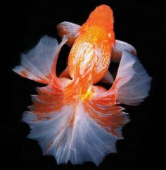 This is what fancy goldfish look like!!
