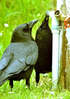 A Northwestern Crow pair take a break from building a nest in a nearby tree to catch a few drops. ~ Photographer: Susan C. Harper
