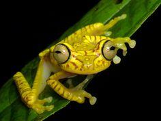 Chachi Tree Frog, Hypsiboas picturatus from Ecuador: www.flickr.com/andreaskay/albums