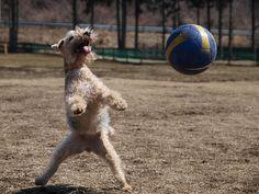lakeland terrier likes football