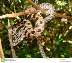 Snake In A Tree- Peninsular (Green) Rat Snake Stock Image - Image of quintana, triaspis: 21334073