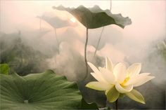 Morgendämmerung mit Lotusblüte