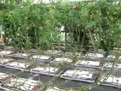 Growing tomatoes vertically Tomato Cages, Growing Tomatoes, Trellis, Gardening, Plants, Lawn And Garden, Plant, Planets, Horticulture