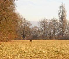 Naturschutzgebiet Bodman - Reh