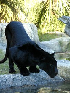 Panther- Bagheera