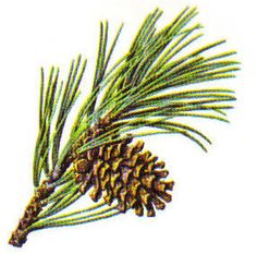 Ponderosa Pine | Ponderosa pine- a yellow pine with groups of 3 needles per fascile