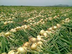 Grape Vineyard, Onion, Grid, Culture, Vegetables, Garden, Plants, Productivity, Products