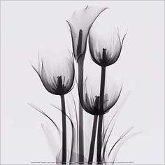 Marianne Haas - Tulpen und Aronstab - Kunstdruck Poster