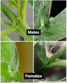 Sexing Cannabis: How to Tell the Difference Between Young Male vs Female Cannabis Plants ~ Homestead and Chill Cannabis Cultivation, Cannabis Edibles, Cannabis Plant, Growing Weed, Growing Herbs, Weed Facts, Medical Marijuana, Medicinal Plants, Gardens