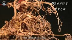 Creatures of the Deep: Basket Star