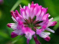 Heirloom Organic 1800 Chinese milk vetch Astragalus sinicus Purple Flower Plant Seeds perennial herb F95, $1.79