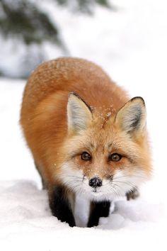 wolverxne:      Sneaky Fox | by: [Megan Lorenz]